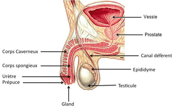 adénome de la prostate traitement
